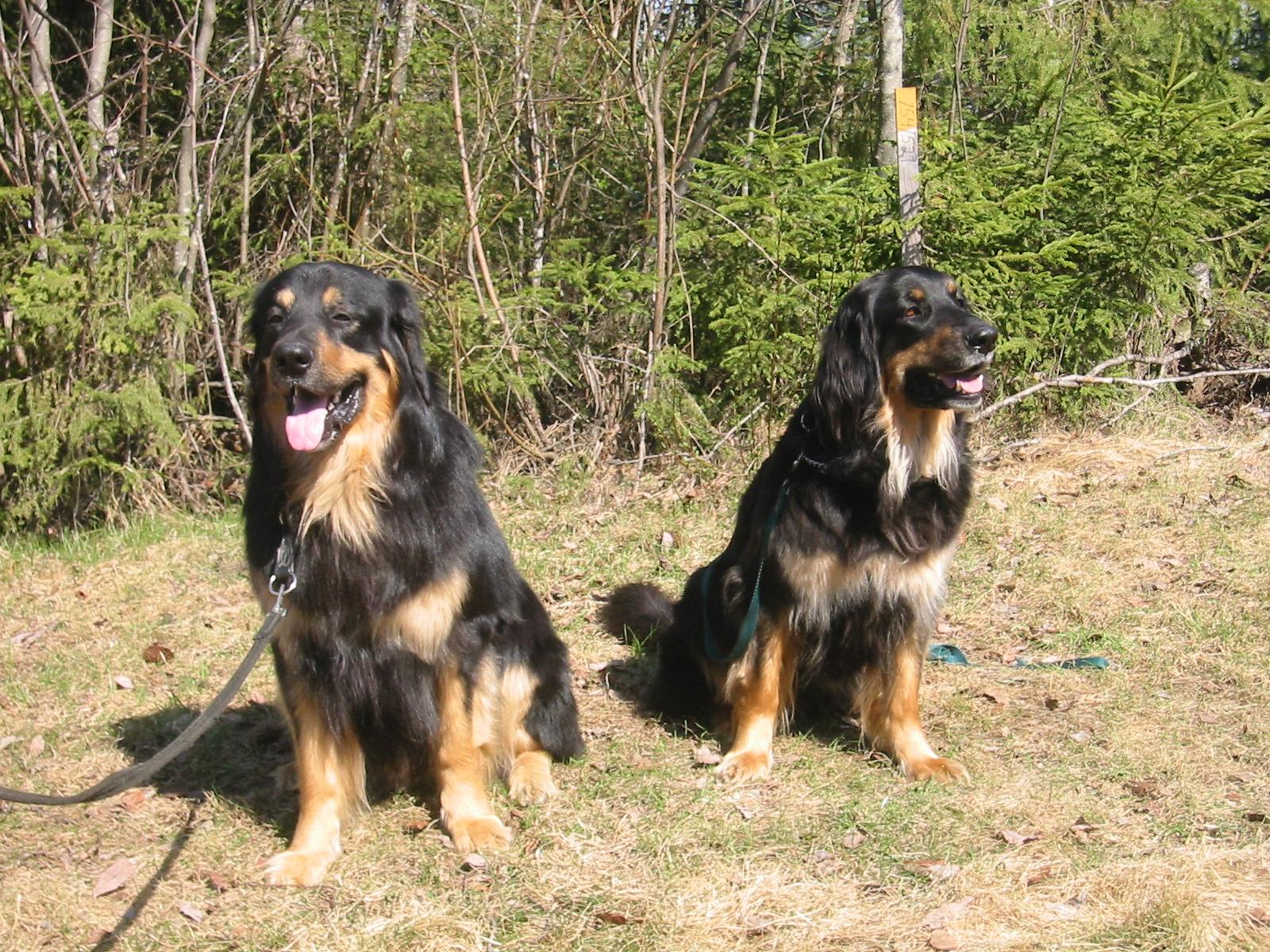 C-pentujen vanhemmat isä Bedlam Yunior ja emä Tallivahdin Bäuerin toukokuussa 2006