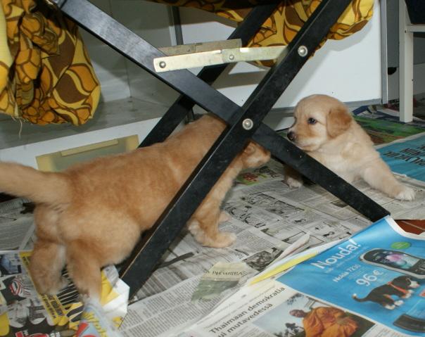 4 viikon iässä haastaavaa tuijotusta tuolin alla