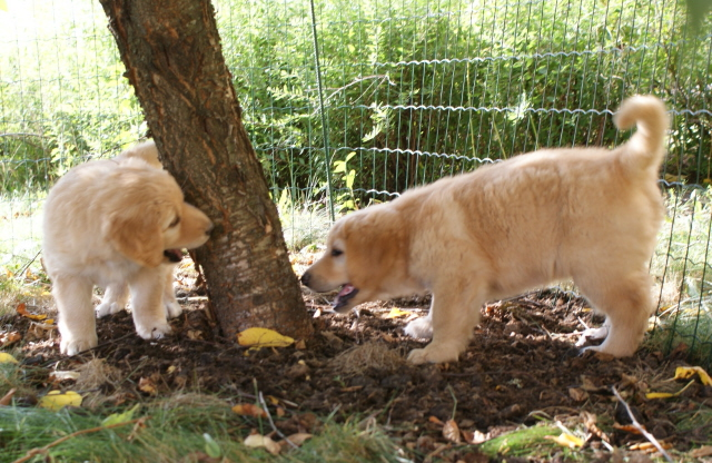 6 viikkoiset Forscherin ja Freiberufler leikkivät kirsikkapuun ympärillä