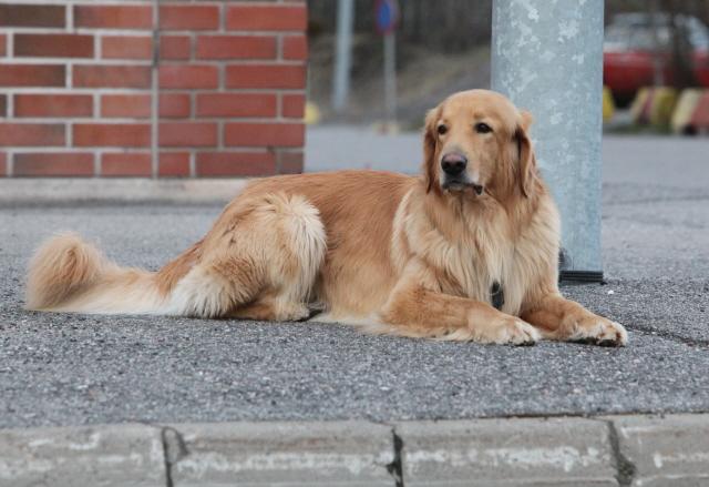 Repe makaa yksin kadulla ja on hyvin rauhallinen ja varma toisen koiran ohittaessa sen